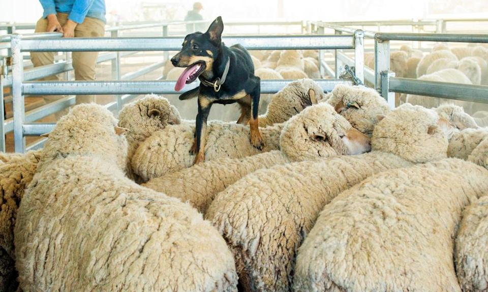 A sheep dog is seen on the back of merino sheep as they are herded into a pen at Yathonga Station.