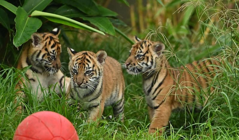 Two female cubs and their brother explored the outside environment for the first time at Sydney's Taronga Zoo (AFP Photo/PETER PARKS)