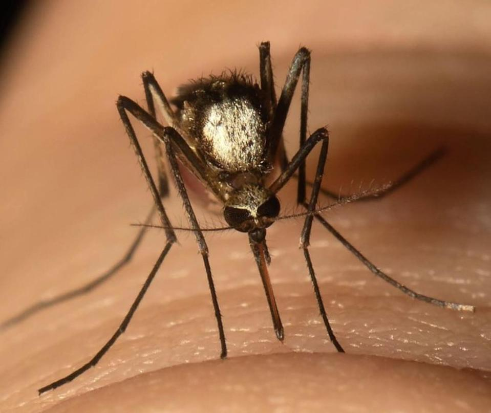 Invasive mosquito with potential to spread disease found in Florida