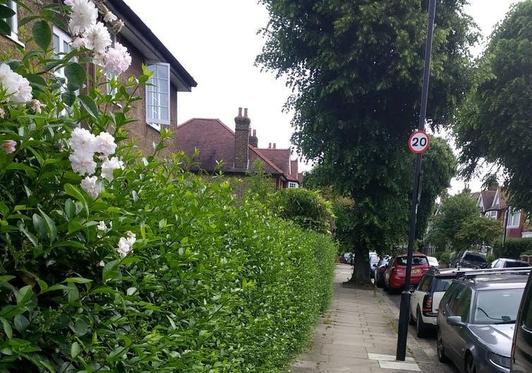 Suburban street with a huge hedge and pale pink roses.