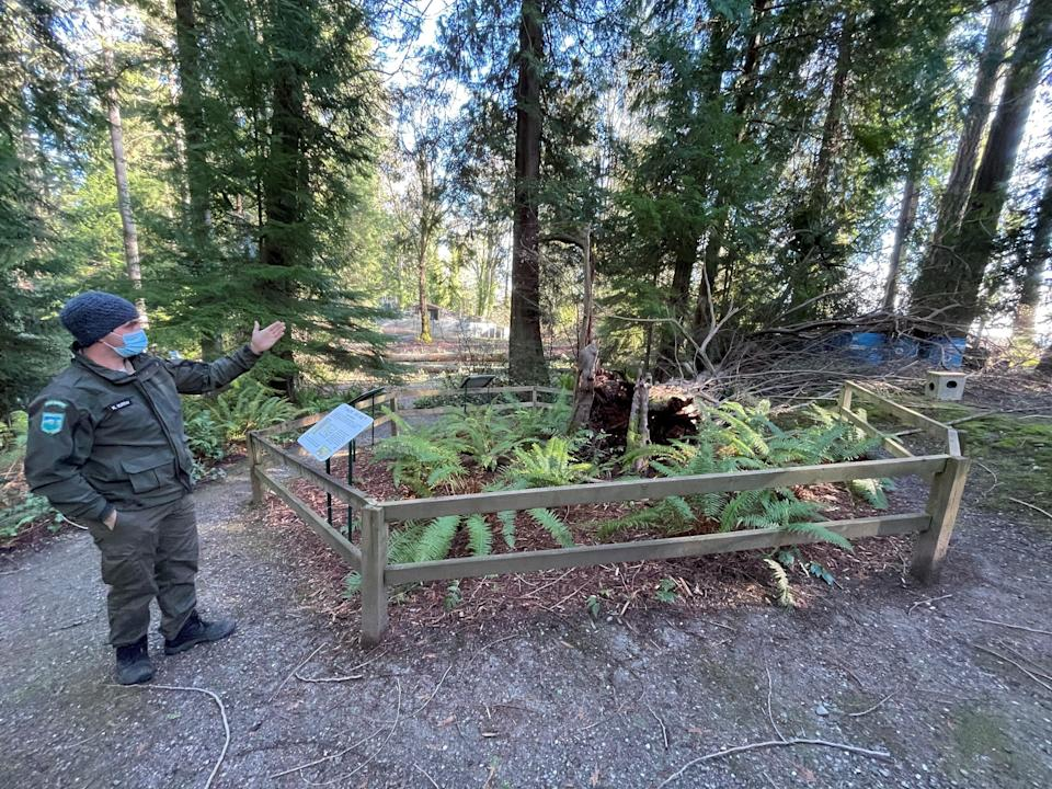 Washington State Park Ranger Kenan Murray started to notice Illahee State Park's famed Pacific Yew tree was starting to fracture this fall. The tree fell Dec. Dec. 17.