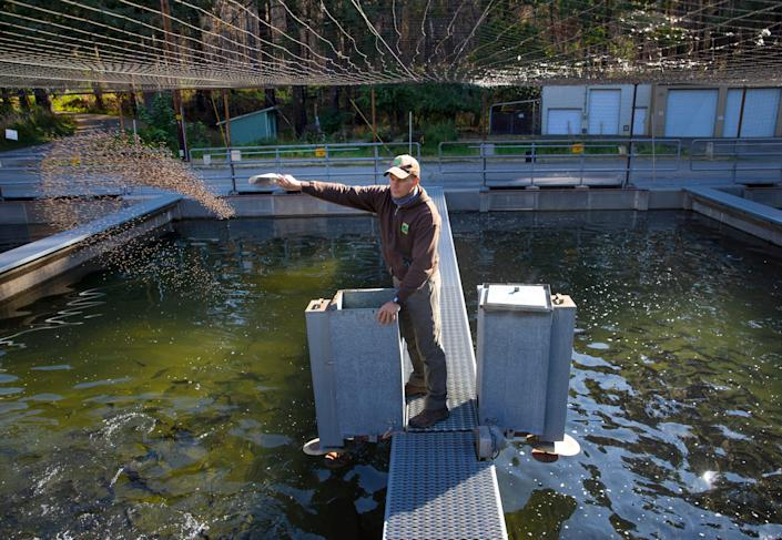 Oregon Department of Fish and Wildlife hatchery manager Erik Withalm feeds fish at the Leaburg Hatchery on Thursday, Sept. 17, 2021.