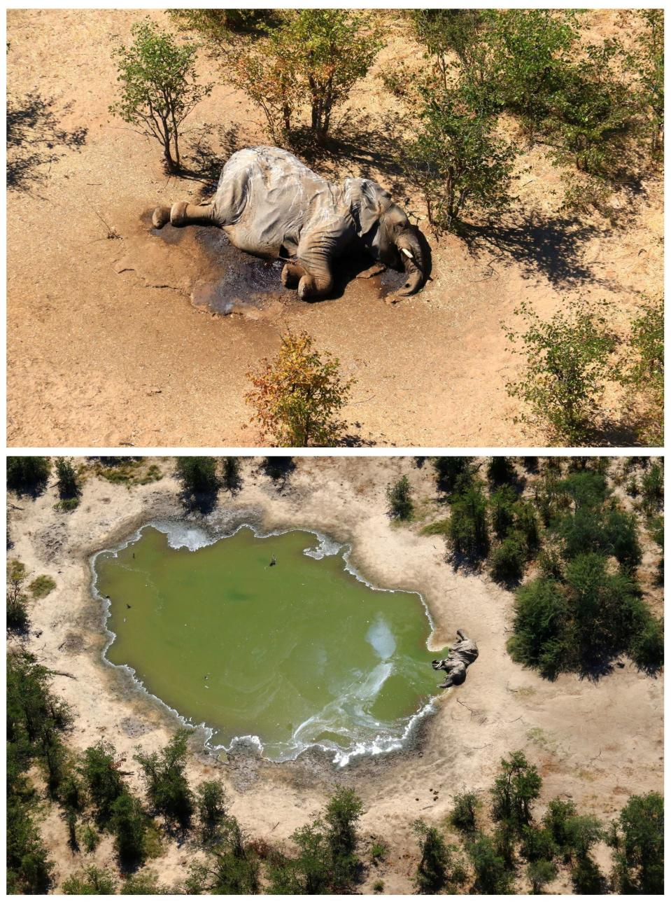A combination photo shows dead elephants in Okavango Delta, Botswana May-June, 2020. PHOTOGRAPHS OBTAINED BY REUTERS/Handout via REUTERS ATTENTION EDITORS - THIS IMAGE HAS BEEN SUPPLIED BY A THIRD PARTY.