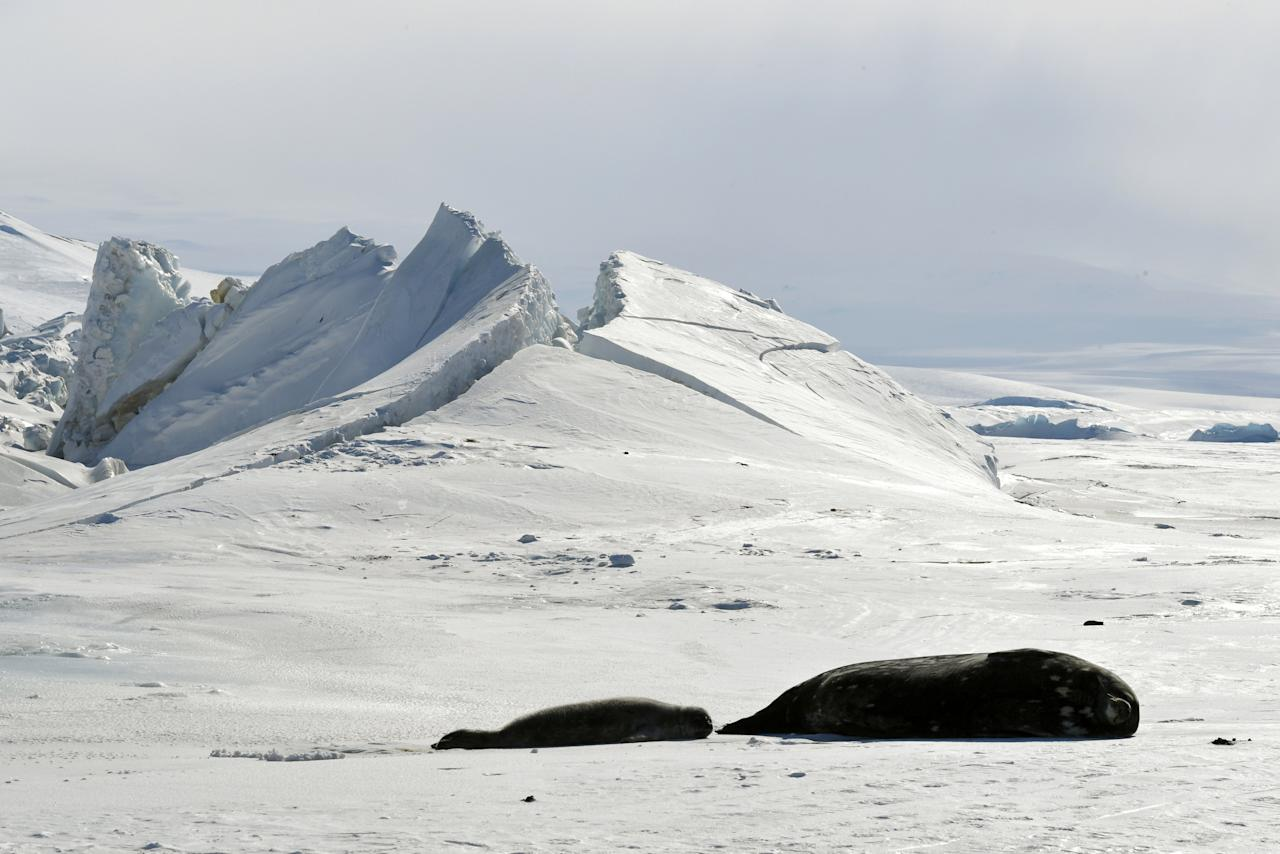 FILE PHOTO: Seals lie on a frozen section of the Ross Sea at the Scott Base in Antarctica on November 12, 2016.  REUTERS/Mark Ralston/Pool/File Photo