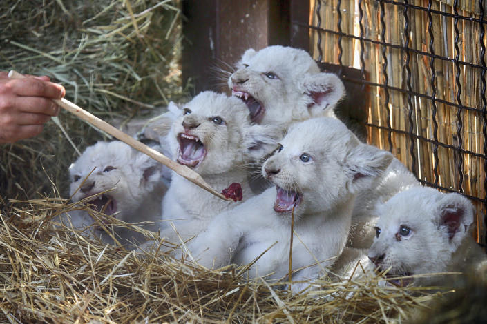 <p>A zoo worker feeds five new-born white lion cubs in a private zoo in the village of Demydiv 50 kilometres west of Kiev, Ukraine, Aug. 11, 2016. Most white lions live in captivity as the rare colour mutation is widely believed to make it difficult for white lions to survive in the wild. (AP Photo/Efrem Lukatsky) </p>