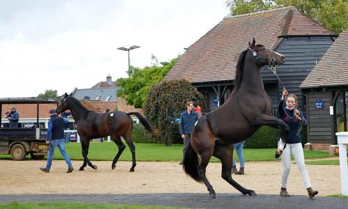 Talking Horses: 'wonky' Attraction wins again as colts sell for millions