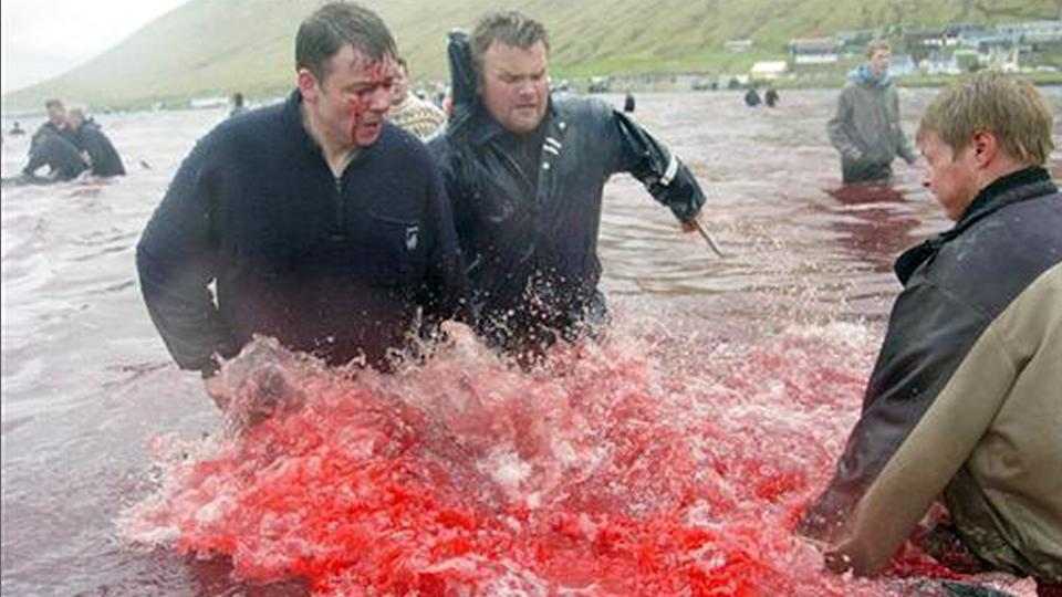 Pilot whales butchered for their meat in the Faroe Islands traditional whale hunt.