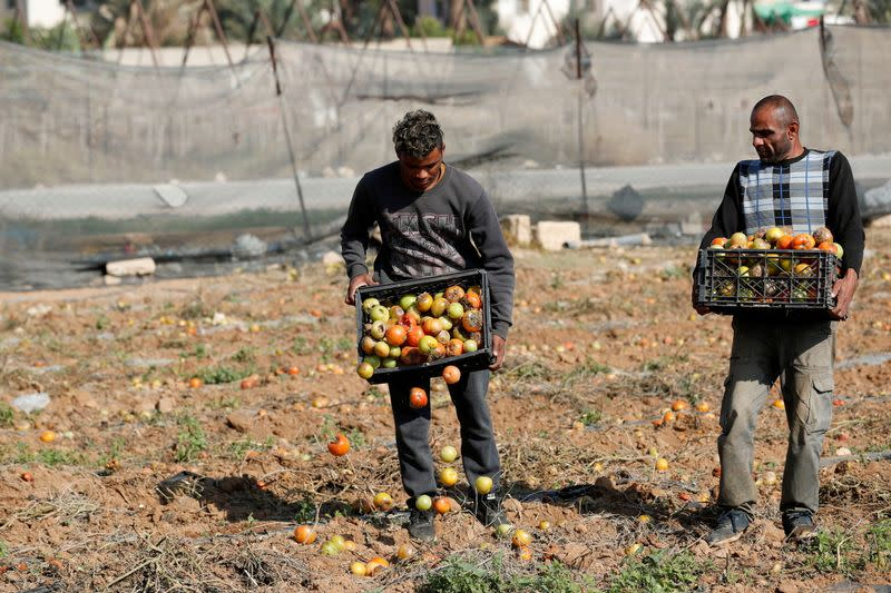Palestinian farmers show rotten tomatoes after failing to sell their crops amid the coronavirus disease (COVID-19) pandemic, in a field in Jericho