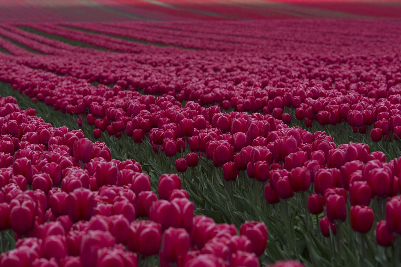 MAGDEBURG, GERMANY - APRIL 22: Tulips blossom on a field on April 22, 2012 in Schwaneberg near Magdeburg, Germany. Following the coldest Easter weather in 50 years, temperatures are scheduled to reach over 25 degrees Celsius in eastern Germany by the end of next week as springtime finally takes hold. (Photo by Carsten Koall/Getty Images)