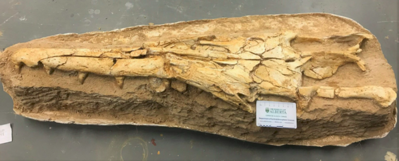 The fossilised skull of the newly identified mosasaur features a long, narrow snout and interlocking teeth. (Catie Strong/University of Alberta)