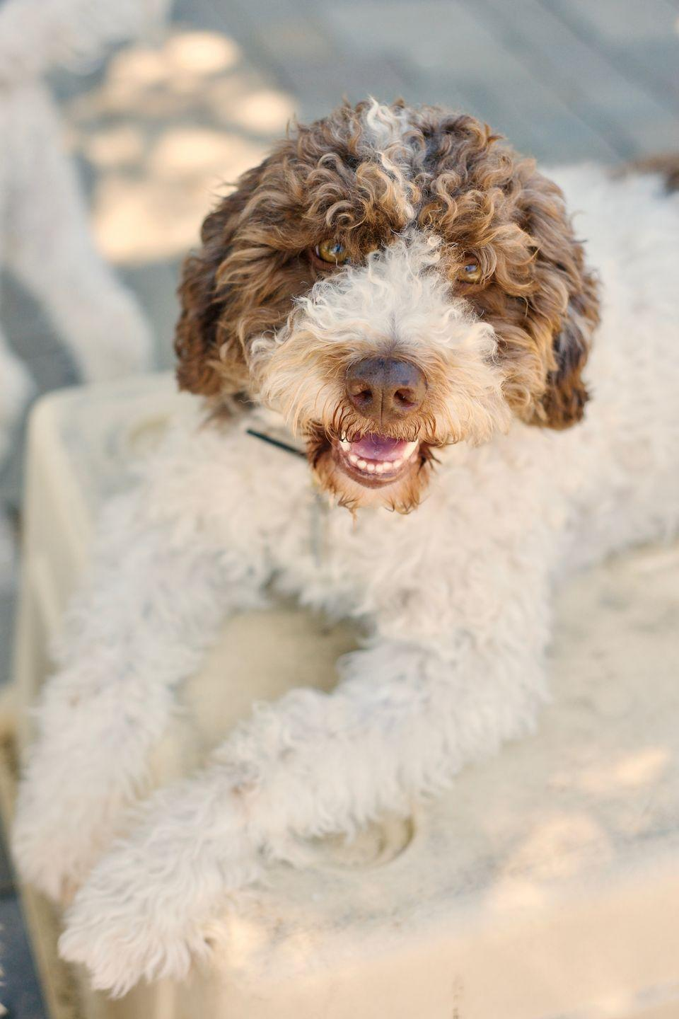 """<p>Don't let the fancy name fool you. These wooly, small- to <a href=""""https://www.goodhousekeeping.com/life/pets/advice/g1825/medium-sized-dogs/"""" rel=""""nofollow noopener"""" target=""""_blank"""" data-ylk=""""slk:medium-sized pups"""" class=""""link rapid-noclick-resp"""">medium-sized pups</a> aren't pretentious in the least. They check off everything on dog lovers' wish lists: Hypoallergenic, active but not too hyper, easygoing and affectionate. They even have a hidden talent: Lagotti are especially excellent at truffle-hunting. While they may spend more time hunting down toys in your backyard, </p>"""