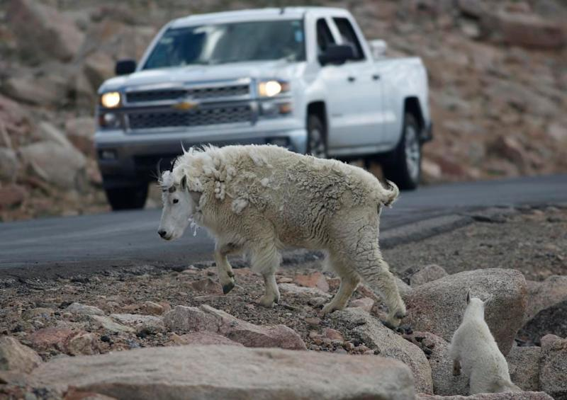 Killing of invasive mountain goats from helicopter suspended in Grand Teton National Park