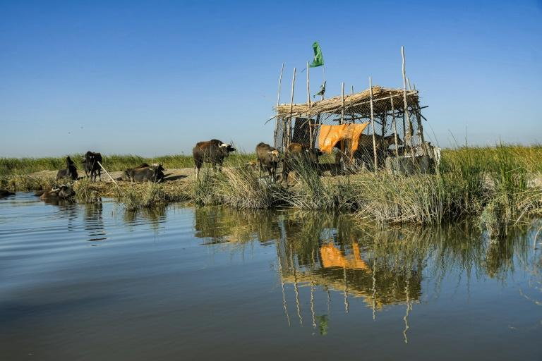 A buffalo grazing by a pen in the Chibayesh marshland in Iraq's southern Ahwar area