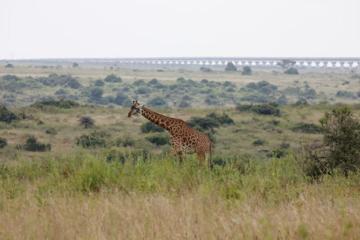 A view of a giraffe grazing with a bridge of the Standard Gauge Railway (SGR) line in the background, inside the Nairobi National Park in Kenya
