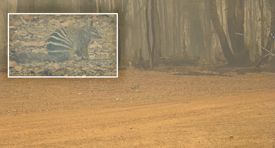 A shot showing a tiny numbat surrounded by smoke in Perup. Inset is a close-up of the numbat.