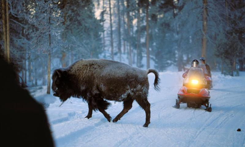 A bison crosses a road in front of a snowmobile, Yellowstone National Park, Wyoming, US