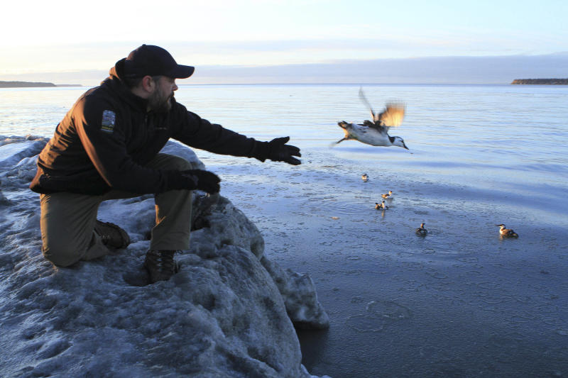 FILE - In this Jan. 5, 2016, file photo, Guy Runco, director of the Bird Treatment and Learning Center, releases a common murre near the Anchorage small boat harbor in Anchorage, Alaska. Hundreds of thousands of common murres, a fast-flying seabird, died from starvation four winters ago in the North Pacific, and a new research paper attempts to explain why. (AP Photo/Dan Joling, File)