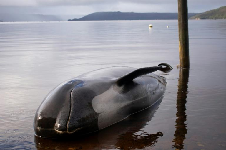 Australian rescuers forced to euthanise some beached whales as toll rises