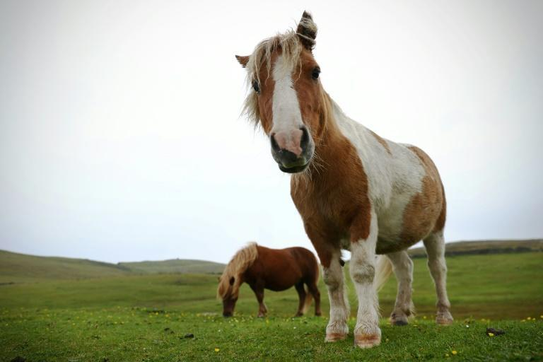 Shetland ponies have long drawn attention for their distinctive shape, size and rough hair (AFP/ADRIAN DENNIS)
