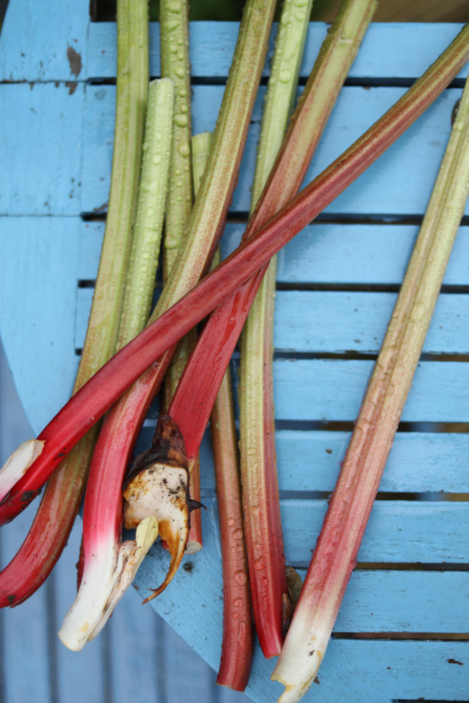 winter garden jobs: rhubarb