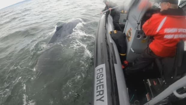 The whale was barely able to move and desperately struggling to pull itself to the surface to breathe. (Fisheries and Oceans Canada - image credit)
