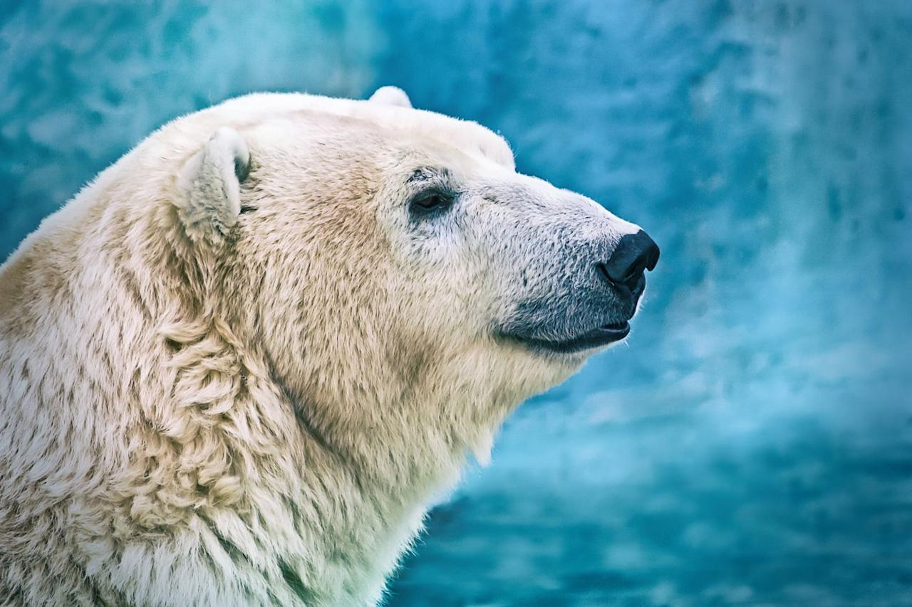 <p>Turns out there's a surprise under all that bright, white fur. Contrary to popular belief, polar bears actually have black skin (which can be seen on their snouts and in the surrounding area). The purpose of their highly pigmented skin is to better absorb and retain the sun's warmth—a handy trait in the harsh Arctic tundra.</p>