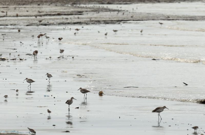 In this photo taken Oct. 18, 2012, shorebirds look to feed near a mangrove forest that hugs the coastline of Panama City. A multi-year boom in Central America's fastest-growing economy has unleashed a wave of development along the Bay of Panama. Environmentalists warn that the construction threatens one of the world's richest ecosystems and the habitat for as many as 2 million North American shorebirds. (AP Photo/Arnulfo Franco)