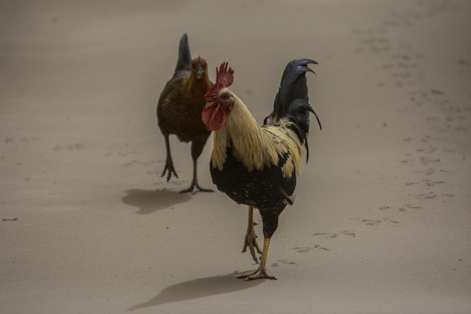 A rooster and a hen walk on the ash-covered main Black Rock road, from the St. Vincent eruption of La Soufriere volcano, on the outskirts of Bridgetown, Barbados, Sunday, April 11, 2021. (AP Photo/Chris Brandis)