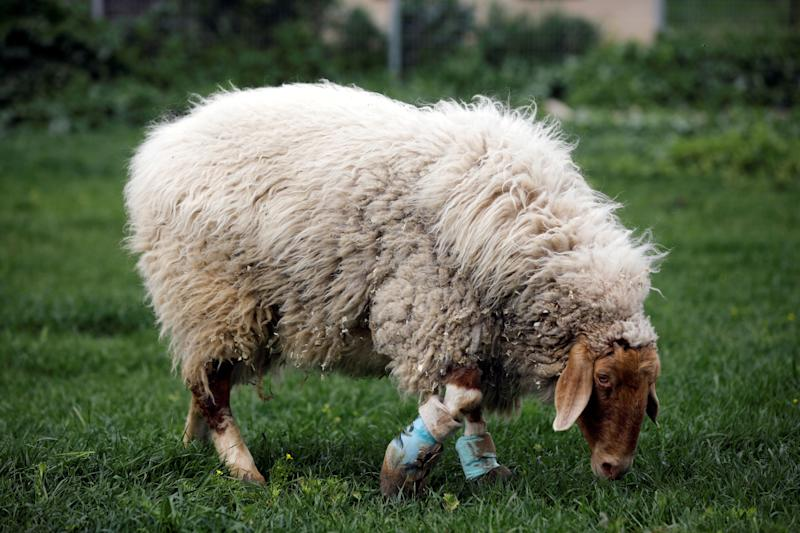 """A sheep with leg braces, named Gary, grazes at """"Freedom Farm"""", a refuge for mostly disabled animals in Moshav Olesh, Israel. (Photo: Nir Elias/Reuters)"""