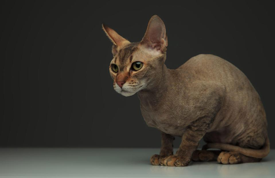 "<p>If you're looking for a devoted family pet, the <a href=""https://www.dailypaws.com/cats-kittens/cat-breeds/peterbald"" rel=""nofollow noopener"" target=""_blank"" data-ylk=""slk:Peterbald"" class=""link rapid-noclick-resp"">Peterbald</a>, hairless variety maybe what you're looking for. A cross between a Don Sphynx and Oriental Shorthair cat, and while they're close to hairless, their shorthair exterior has been compared to the feeling of soft velour. </p>"