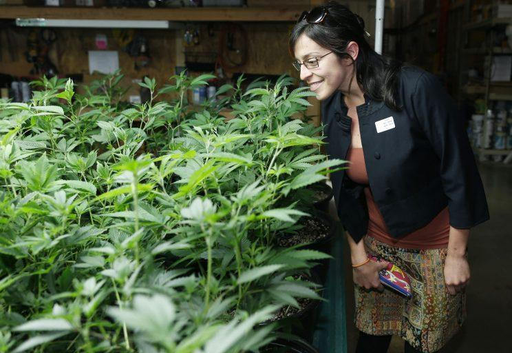 Rebecca Gasca, the chief executive officer of a consulting firm from Reno, Nv., looks over a palate covered with marijuana plants as a contingent of Nevada lawmakers, their staffers and lobbyists toured two retail and grow operations for both medical and recreational marijuana in northeast Denver on April 25, 2015. (Photo/David Zalubowski/AP)