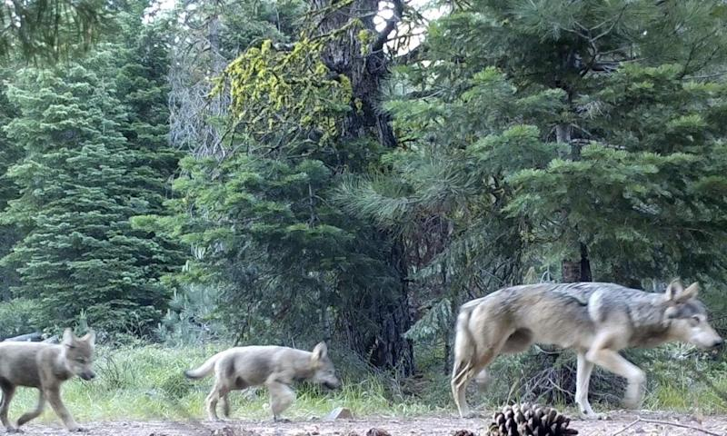 Members of the Lassen wolf pack captured by a remote camera in 2017.