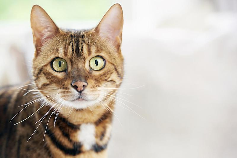 'Cat killer': A feline was found beheaded in west London (file photo): Getty Images