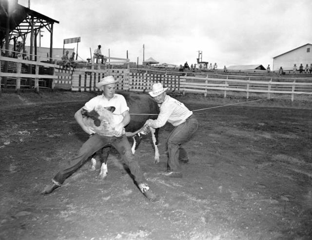 <p>C.B. Leech, right, of Weinert, Texas, milks a wild cow in 37 3/5 seconds while his son, Charles, left, mugs the cow in the wild cow milking contest during the cowboy reunion at Stanford in Texas on July 4, 1945. (Photo: Carl E. Linde/AP) </p>