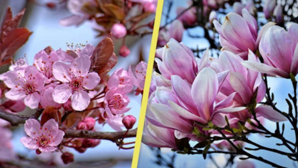 Is it a cherry blossom or a magnolia? Here's how to tell