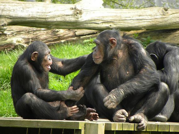 Chimps Have Better Short-term Memory Than Humans