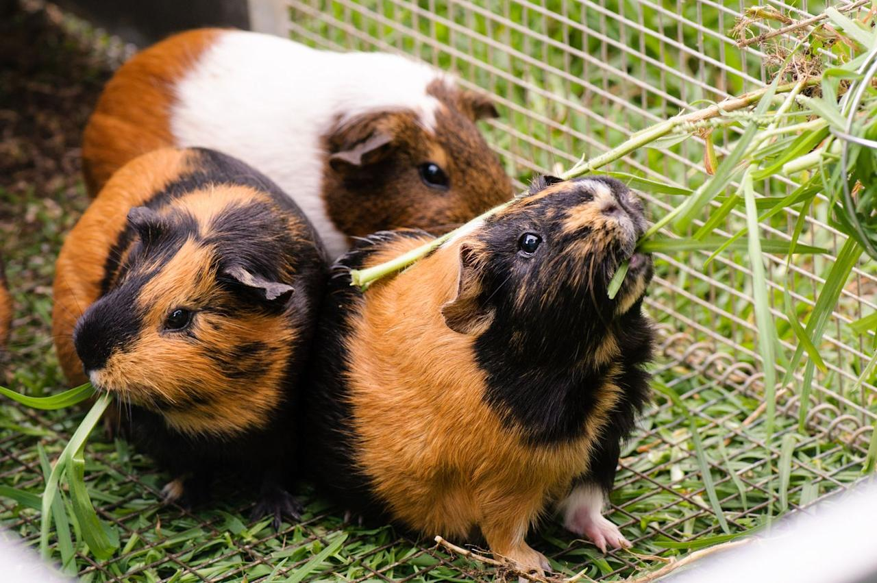 """<p>Hay is very important in a guinea pig's diet because it provides them with the required fiber for proper digestion and it helps wear down their teeth, which grow continuously. Because of this, hay should be available to them at all times and replaced daily. </p><p>According to the Humane Society of the United States, <a href=""""https://www.humanesociety.org/resources/guinea-pig-feeding"""" target=""""_blank"""">most guinea pigs prefer to eat Timothy hay</a>. </p><p><strong>What you'll need</strong>: <a href=""""https://www.petco.com/shop/en/petcostore/product/small-animal/small-animal-food-treats/small-animal-hay-grass/kaytee-natural-timothy-hay-for-rabbits-and-small-animals"""" target=""""_blank"""">Timothy hay</a> ($16, Petco.com)</p>"""