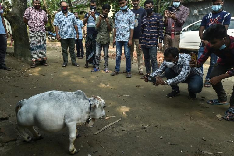 People have flocked to a farm outside Dhaka to see what its owners say is the world's smallest cow