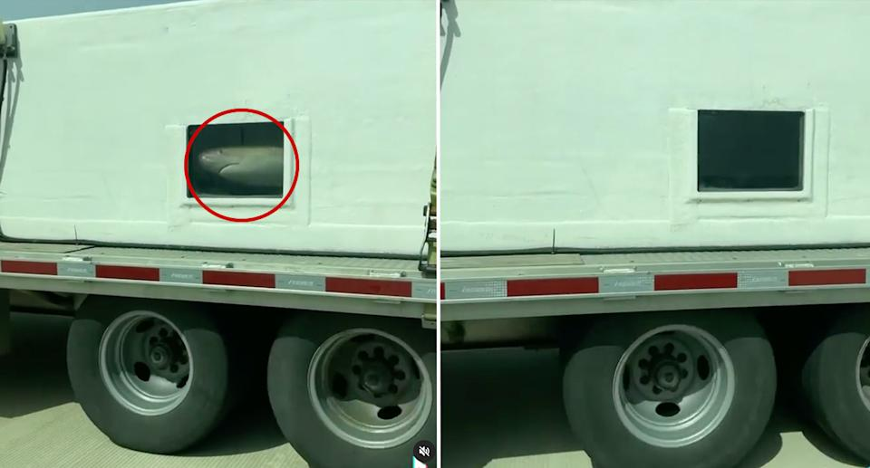 Sharks swimming in a tank on the back of a truck while driving down a US highway.
