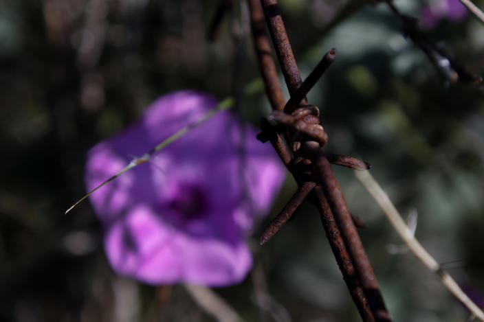 A wild flower is seen through barbed-wire inside the U.N controlled buffer zone that divide the Greek, south, and the Turkish, north, Cypriot areas since the 1974 Turkish invasion, Cyprus, on Friday, March 26, 2021. Cyprus' endangered Mouflon sheep is one of many rare plant and animal species that have flourished a inside U.N. buffer zone that cuts across the ethnically cleaved Mediterranean island nation. Devoid of humans since a 1974 war that spawned the country's division, this no-man's land has become an unofficial wildlife reserve. (AP Photo/Petros Karadjias)