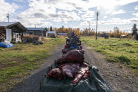 Bernard Ishnook moves butchered moose meat into the village on Wednesday, Sept. 15, 2021, in Stevens Village, Alaska. For the first time in memory, both king and chum salmon have dwindled to almost nothing and the state has banned salmon fishing on the Yukon. The remote communities that dot the river and live off its bounty are desperate and doubling down on moose and caribou hunts in the waning days of fall. (AP Photo/Nathan Howard)