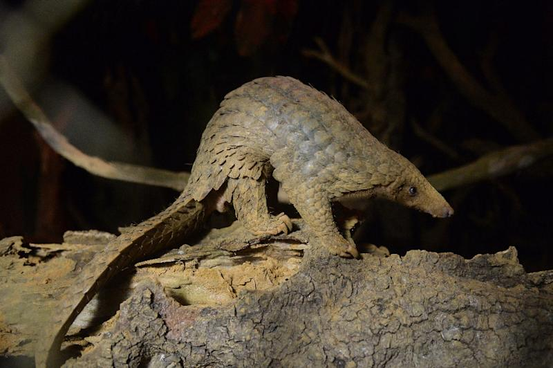 Chinese customs have seized over three tonnes of pangolin scales - an estimated 7,500 of the creatures could have been killed to make up the trafficked shipment (AFP Photo/HOANG DINH NAM)