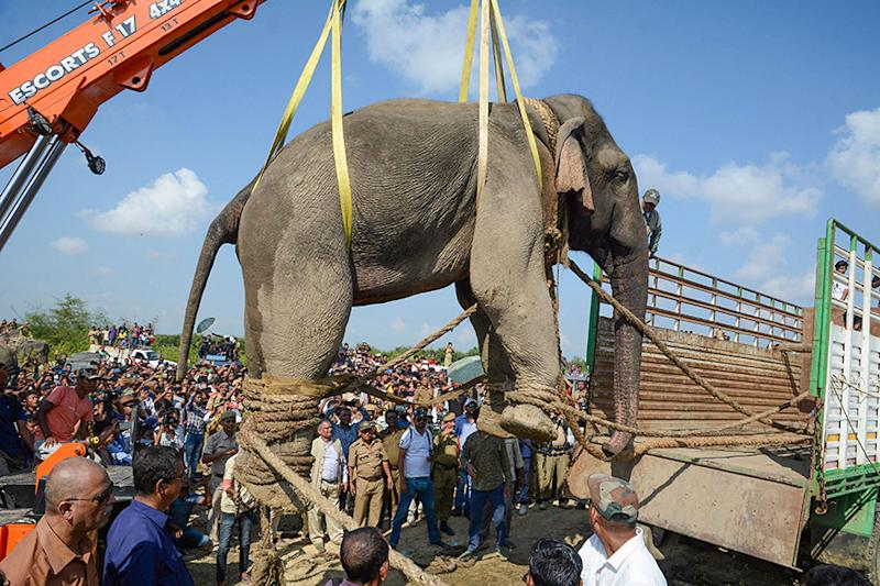 Assam Has Maximum Captive Elephants in India; Registers Rise in Jumbo Deaths, Conflicts