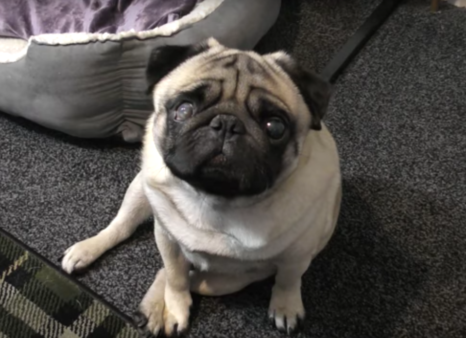 <em>Pug – Mark Meechan was found guilty of an offence contrary to the Communications Act after teaching his girlfriend's pug to do a Nazi salute (Pictures: YouTube/Count Dankula)</em>