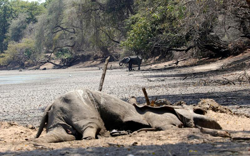 The carcass of an elephant lies next to a pool that used to be a perennial water supply in Mana Pools National Park, Zimbabwe - AP