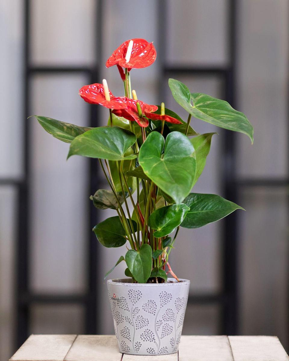"<p>These on-trend houseplants with red, waxy, heart-shaped leaves will do well in a bathroom if they have enough light. Look out for yellow tips on the leaves – this means it is too wet for them. </p><p><a class=""link rapid-noclick-resp"" href=""https://go.redirectingat.com?id=127X1599956&url=https%3A%2F%2Fwww.crocus.co.uk%2Fbomcard%2F_%2Fanthurium-red-champion-and%2Fanthurium-red-champion-and-pot-cover-combination%2Fclassid.2000027575%2F&sref=https%3A%2F%2Fwww.countryliving.com%2Fuk%2Fhomes-interiors%2Finteriors%2Fg33454786%2Fbathroom-plants%2F"" rel=""nofollow noopener"" target=""_blank"" data-ylk=""slk:BUY NOW"">BUY NOW</a></p>"