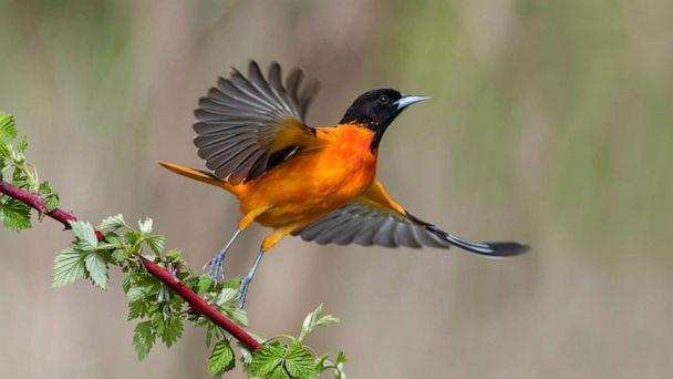 PHOTO: Baltimore Oriole, Icterus galbula, in flight. (Getty Images, FILE)