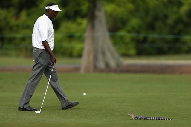 AVONDALE, LA - APRIL 25: Vijay Singh has a run in with a baby alligator while trying to take his shot on the 7th during Round Two of the Zurich Classic of New Orleans at TPC Louisiana on April 25, 2014 in Avondale, Louisiana. (Photo by Chris Graythen/Getty Images)