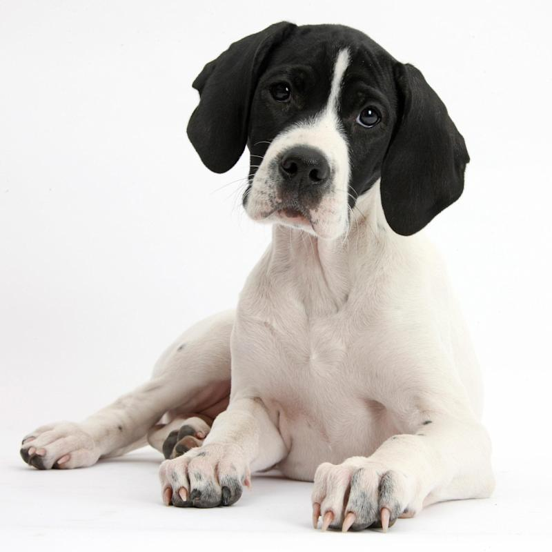 An English Pointer puppy, one of the breeds that has fallen out of favour with British dog owners - www.alamy.com