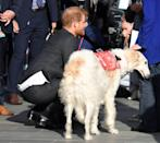 """<p><a href=""""https://www.cosmopolitan.com/uk/reports/g23580267/prince-harry-looked-adorable-animals-cuddling/"""" rel=""""nofollow noopener"""" target=""""_blank"""" data-ylk=""""slk:Harry loves animals, as we know"""" class=""""link rapid-noclick-resp"""">Harry loves animals, as we know</a>, and when visiting Wellington, New Zealand he met this guy.</p>"""
